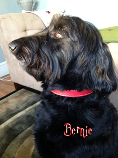 bernie in Simply Red Woofwerks leather dog collar