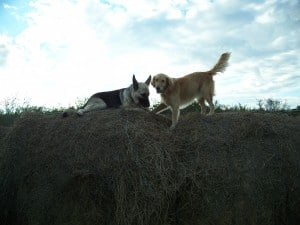 two dogs with leather collars