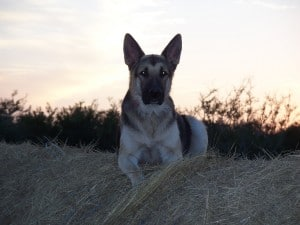 german shepherd with dog collar