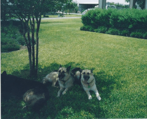 shepards on lawn